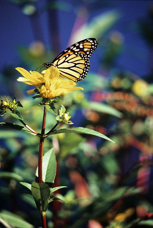 Monarch Butterfly, 2003 image