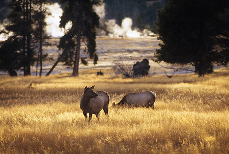 Golden Graze, Yellowstone Nat. Park, 2007