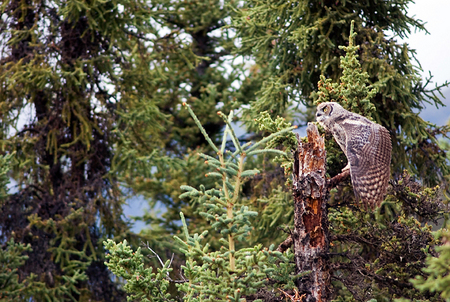Young Great Horned Owl 2008