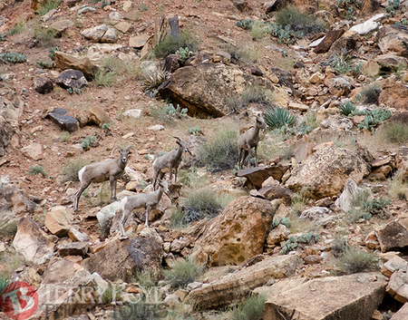 4 Sheep in Marble Canyon