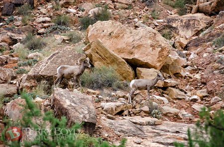 Sheep in Marble Canyon